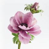 SK SFP Sugar Florist Paste Nasturtium (Peach) 100g